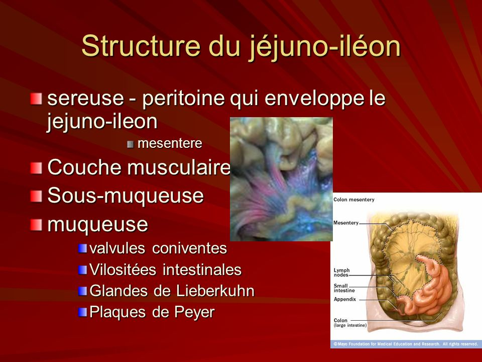 Structure du jéjuno-iléon