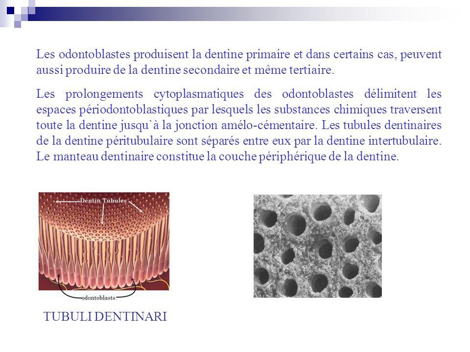 Les odontoblastes produisent la dentine primaire et dans certains cas, peuvent aussi produire de la dentine secondaire et même tertiaire.