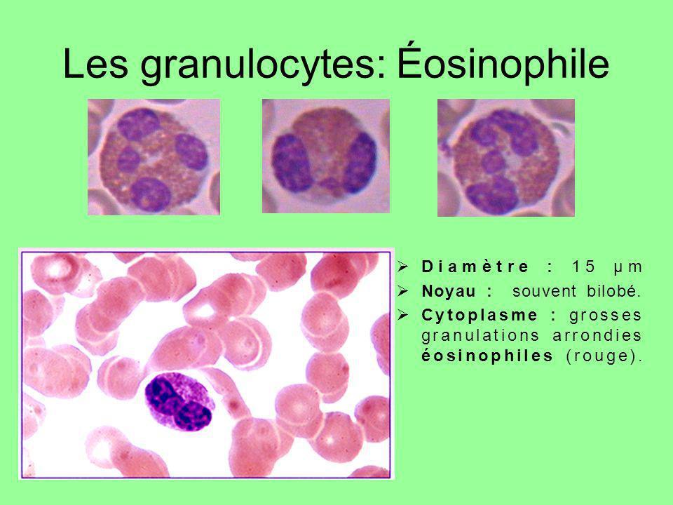 Les granulocytes: Éosinophile