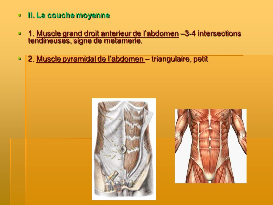 II. La couche moyenne 1. Muscle grand droit anterieur de l'abdomen –3-4 intersections tendineuses, signe de metamerie.