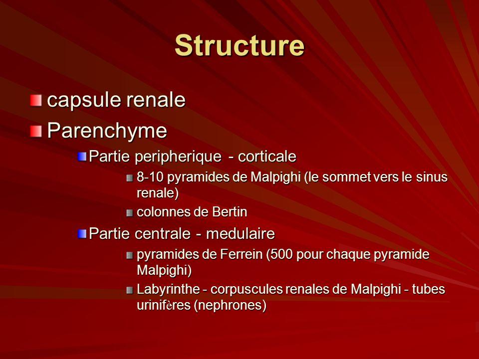 Structure capsule renale Parenchyme Partie peripherique - corticale