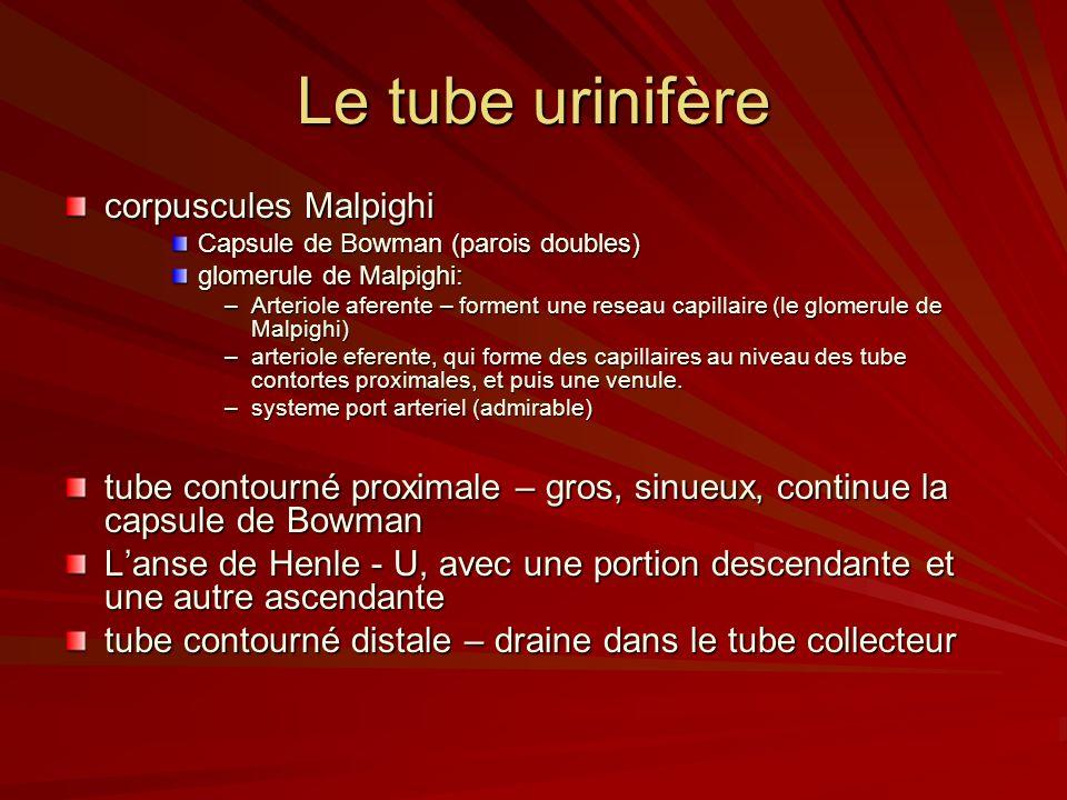 Le tube urinifère corpuscules Malpighi