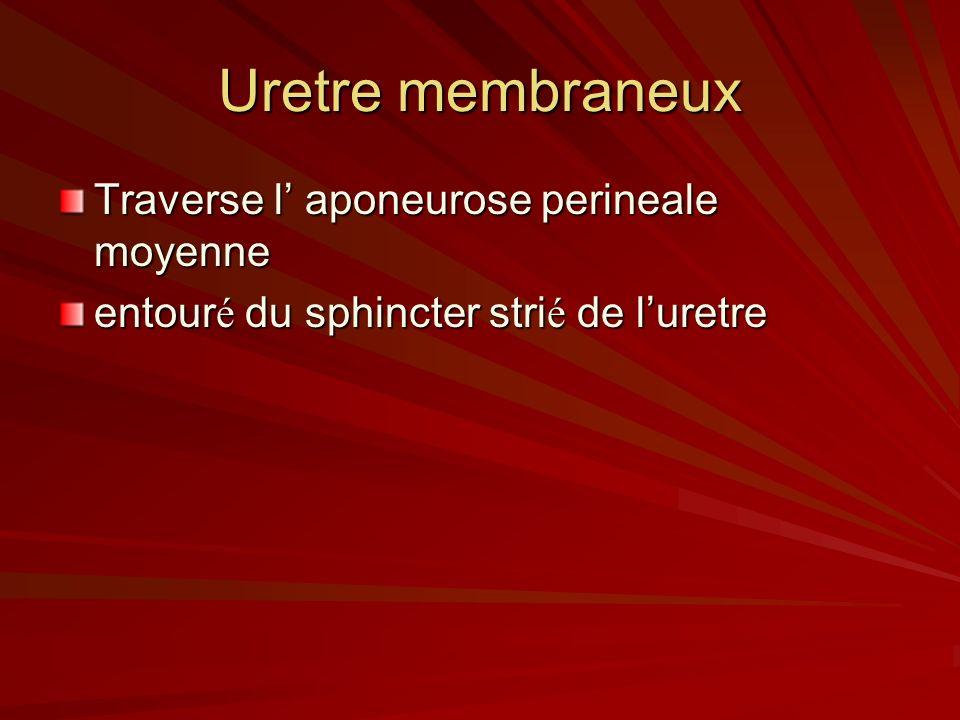 Uretre membraneux Traverse l' aponeurose perineale moyenne