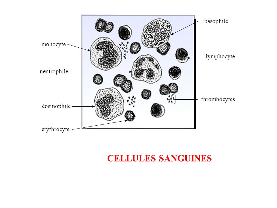 CELLULES SANGUINES basophile monocyte lymphocyte neutrophile