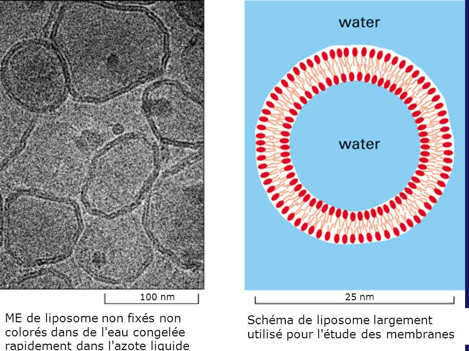 Fig 10-6 100 nm. 25 nm. ME de liposome non fixés non colorés dans de l eau congelée rapidement dans l azote liquide.