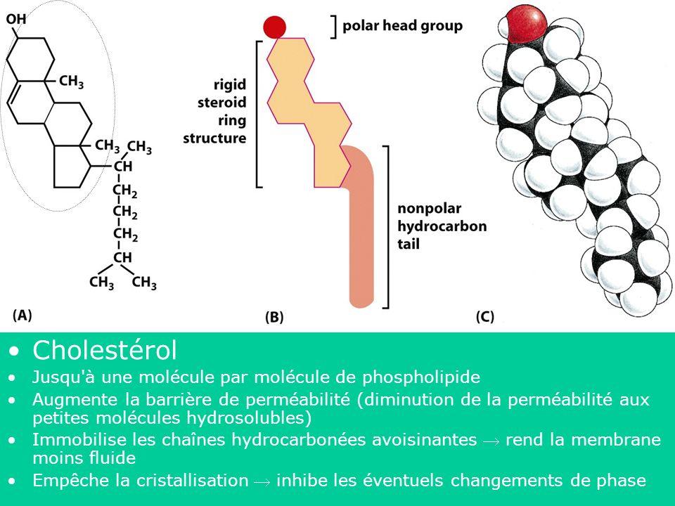 Cholestérol 43 Jusqu à une molécule par molécule de phospholipide