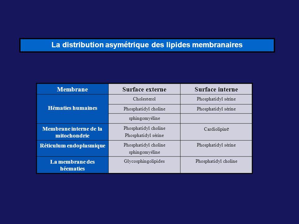La distribution asymétrique des lipides membranaires