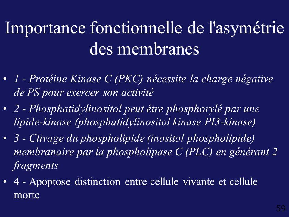 Importance fonctionnelle de l asymétrie des membranes