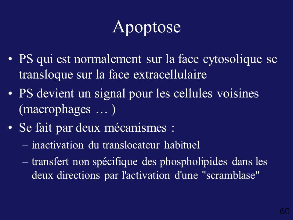 Apoptose PS qui est normalement sur la face cytosolique se transloque sur la face extracellulaire.