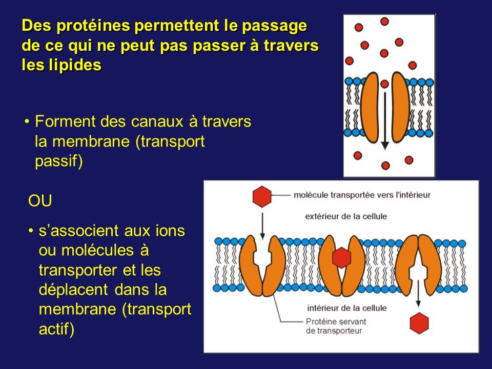 Des protéines permettent le passage de ce qui ne peut pas passer à travers les lipides