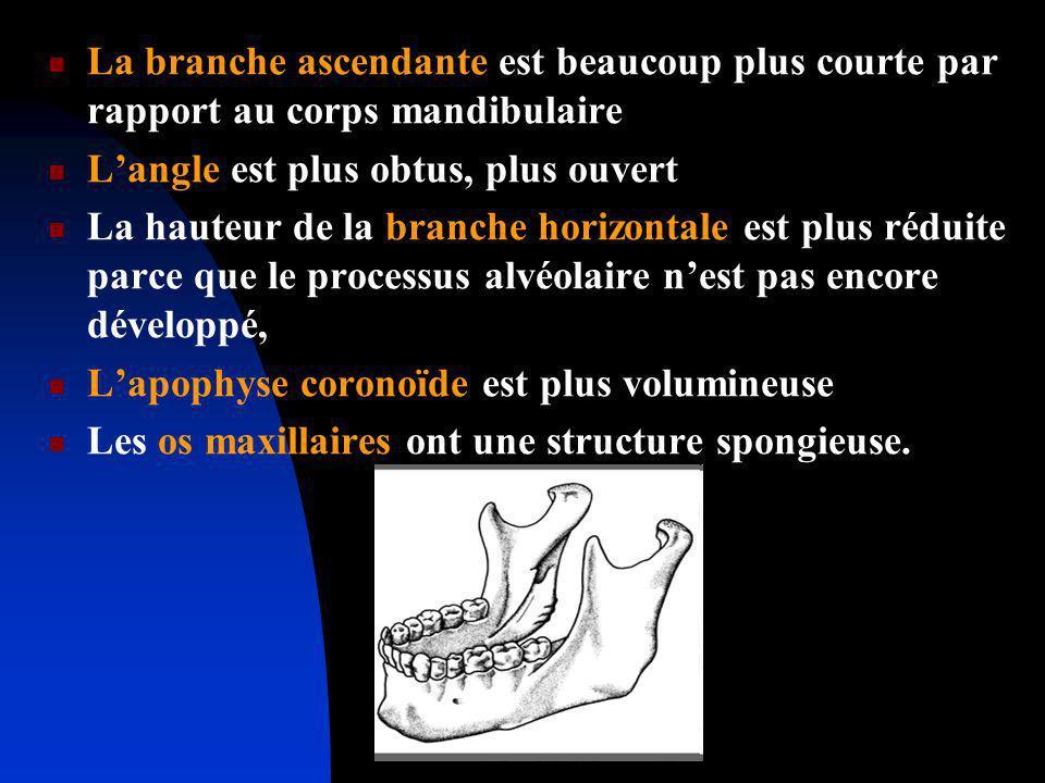 La branche ascendante est beaucoup plus courte par rapport au corps mandibulaire