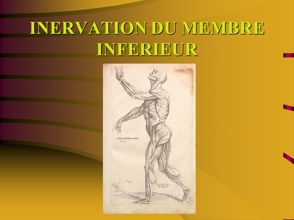 INERVATION DU MEMBRE INFERIEUR