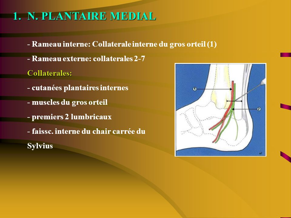N. PLANTAIRE MEDIAL - Rameau interne: Collaterale interne du gros orteil (1) - Rameau externe: collaterales 2-7.