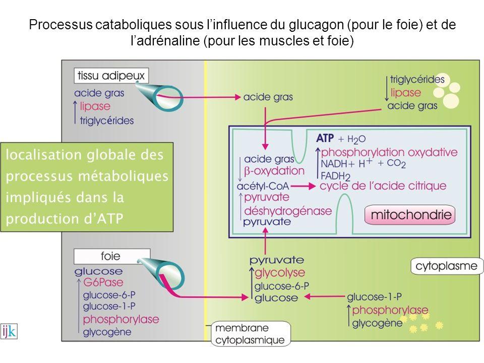 Processus cataboliques sous l'influence du glucagon (pour le foie) et de l'adrénaline (pour les muscles et foie)