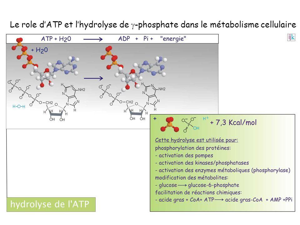 Le role d'ATP et l'hydrolyse de g-phosphate dans le métabolisme cellulaire