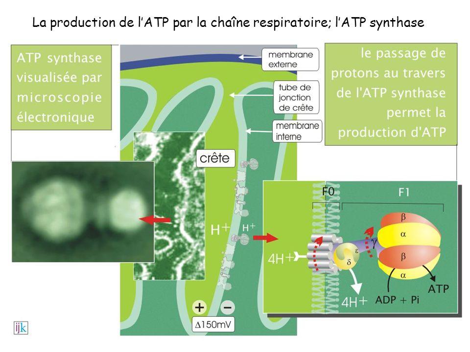 La production de l'ATP par la chaîne respiratoire; l'ATP synthase