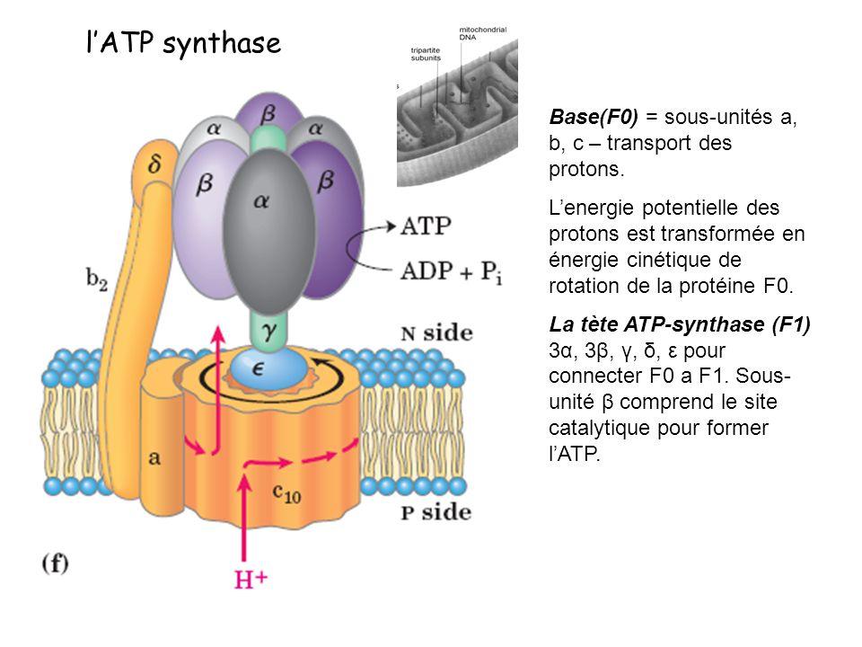 l'ATP synthase Base(F0) = sous-unités a, b, c – transport des protons.