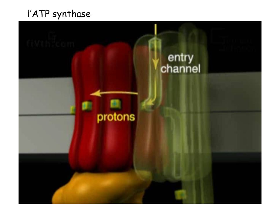 l'ATP synthase