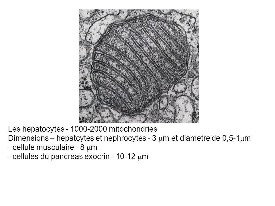 Les hepatocytes - 1000-2000 mitochondries