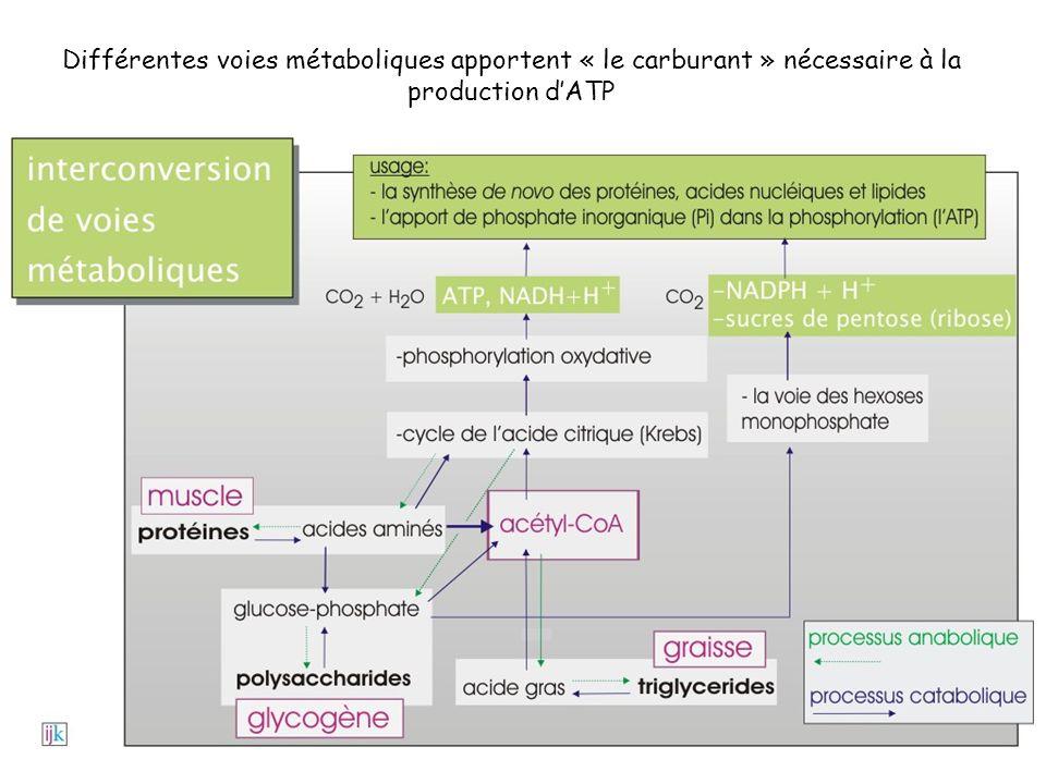 Différentes voies métaboliques apportent « le carburant » nécessaire à la production d'ATP