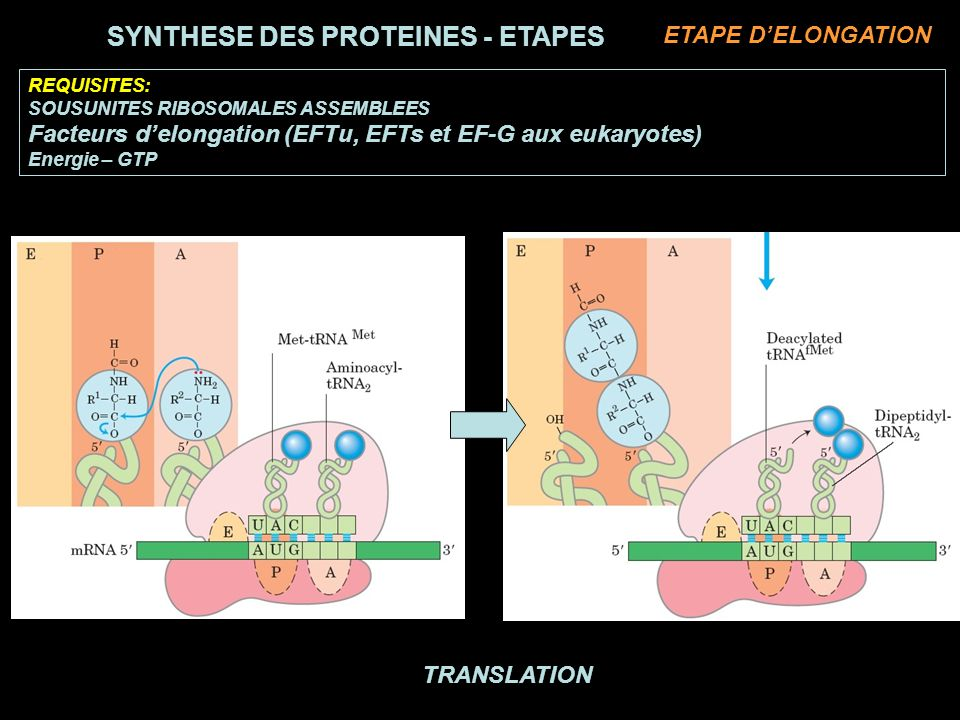 SYNTHESE DES PROTEINES - ETAPES