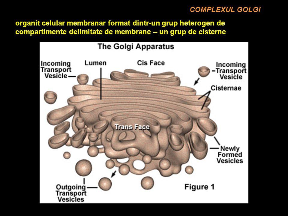COMPLEXUL GOLGI organit celular membranar format dintr-un grup heterogen de compartimente delimitate de membrane – un grup de cisterne.