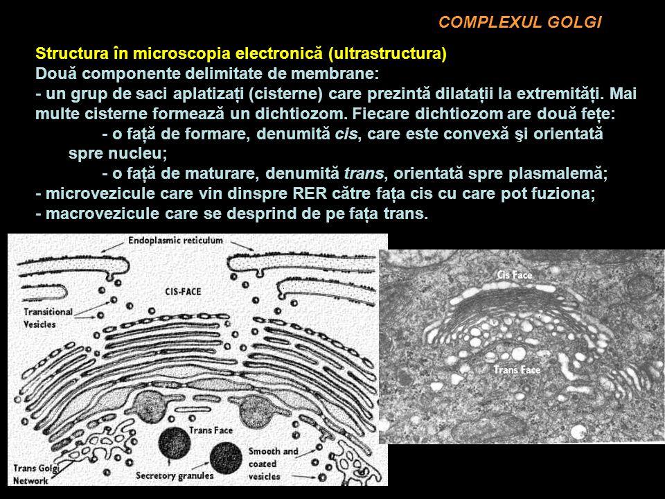 COMPLEXUL GOLGI Structura în microscopia electronică (ultrastructura) Două componente delimitate de membrane:
