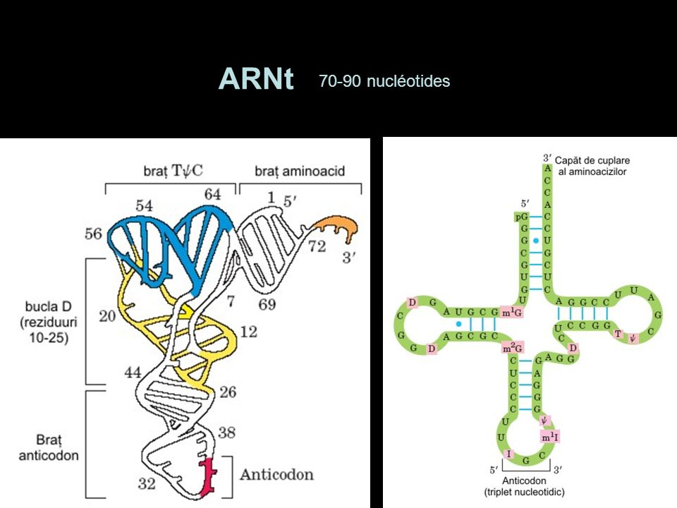 ARNt 70-90 nucléotides