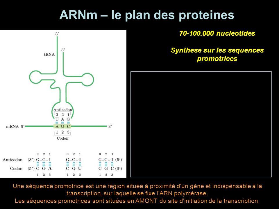 ARNm – le plan des proteines Synthese sur les sequences promotrices