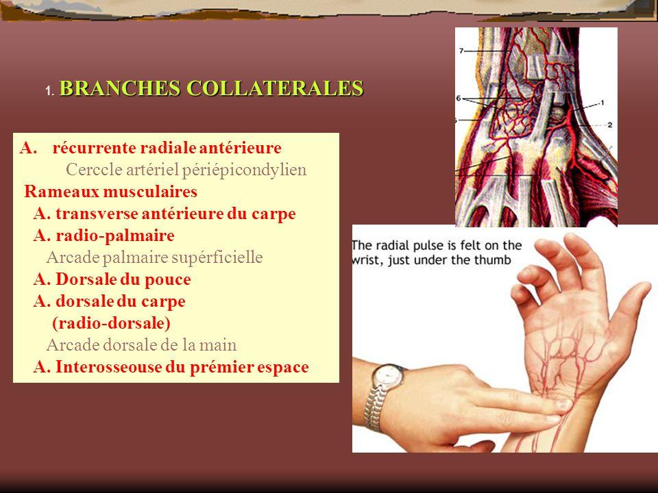 récurrente radiale antérieure Cerccle artériel périépicondylien