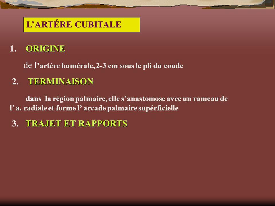 L'ARTÉRE CUBITALE 1. ORIGINE. de l'artére humérale, 2-3 cm sous le pli du coude. 2. TERMINAISON.