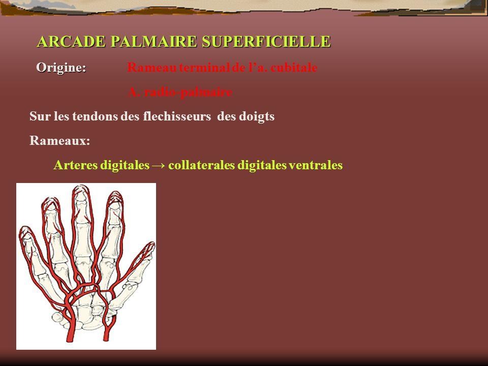 ARCADE PALMAIRE SUPERFICIELLE