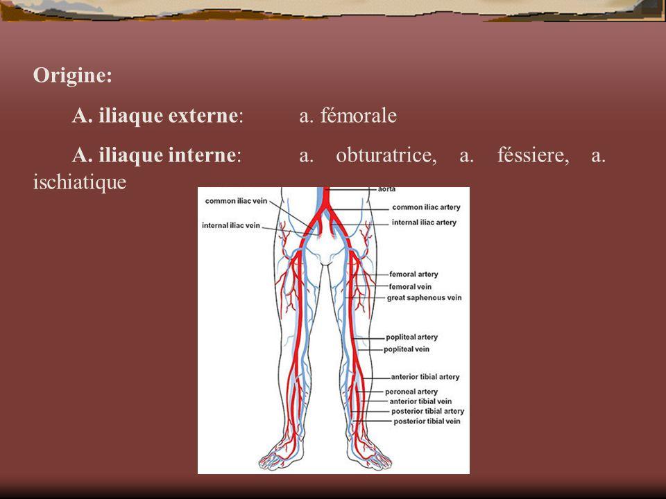 Origine: A. iliaque externe: a. fémorale.