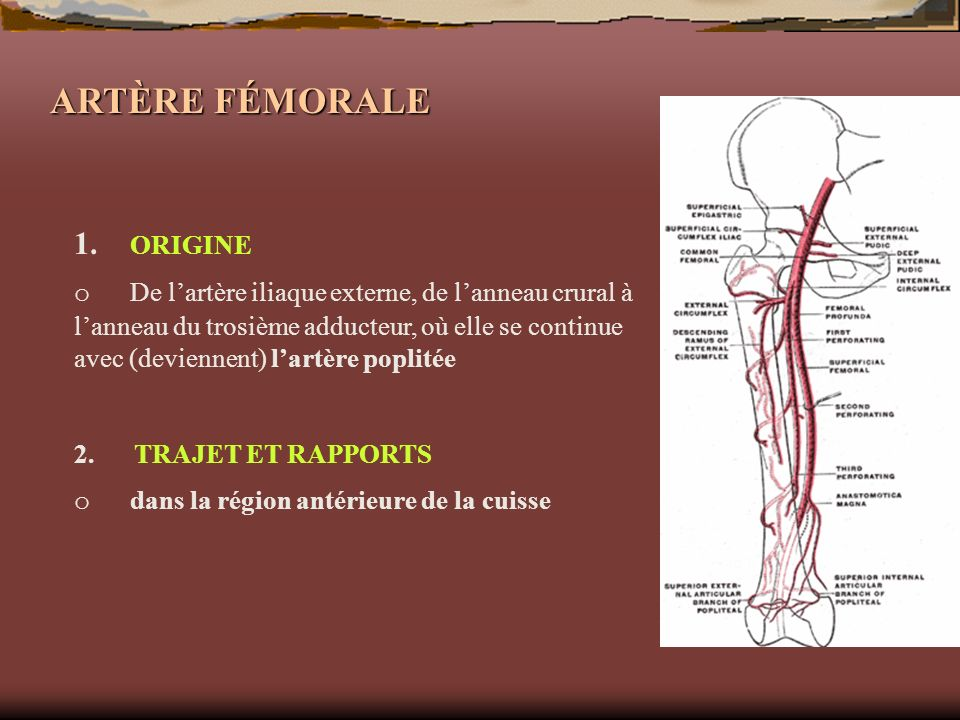 ARTÈRE FÉMORALE 1. ORIGINE