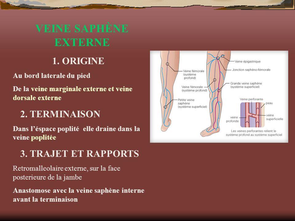 VEINE SAPHÈNE EXTERNE 1. ORIGINE 2. TERMINAISON 3. TRAJET ET RAPPORTS