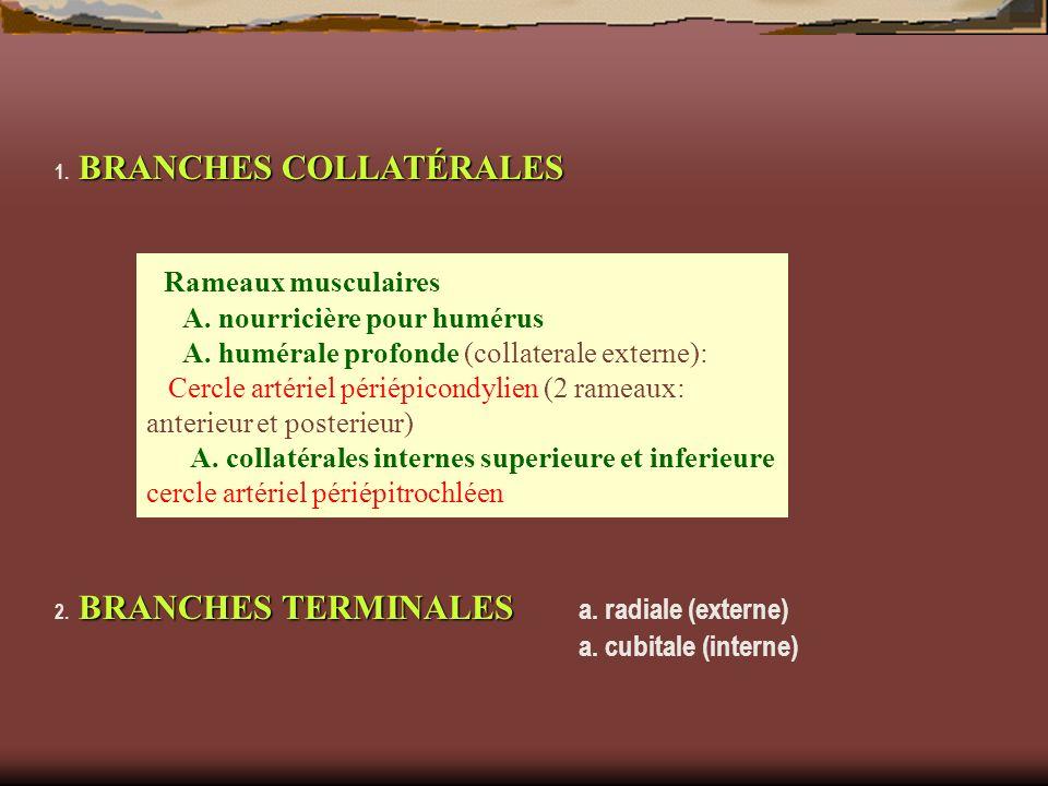 Rameaux musculaires A. nourricière pour humérus