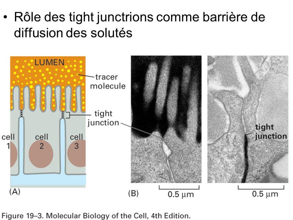 Mardi 20 janvier 2009 Rôle des tight junctrions comme barrière de diffusion des solutés Fig 19-3