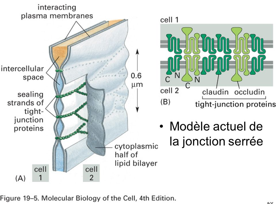 Mardi 20 janvier 2009 Fig 19-5 Modèle actuel de la jonction serrée