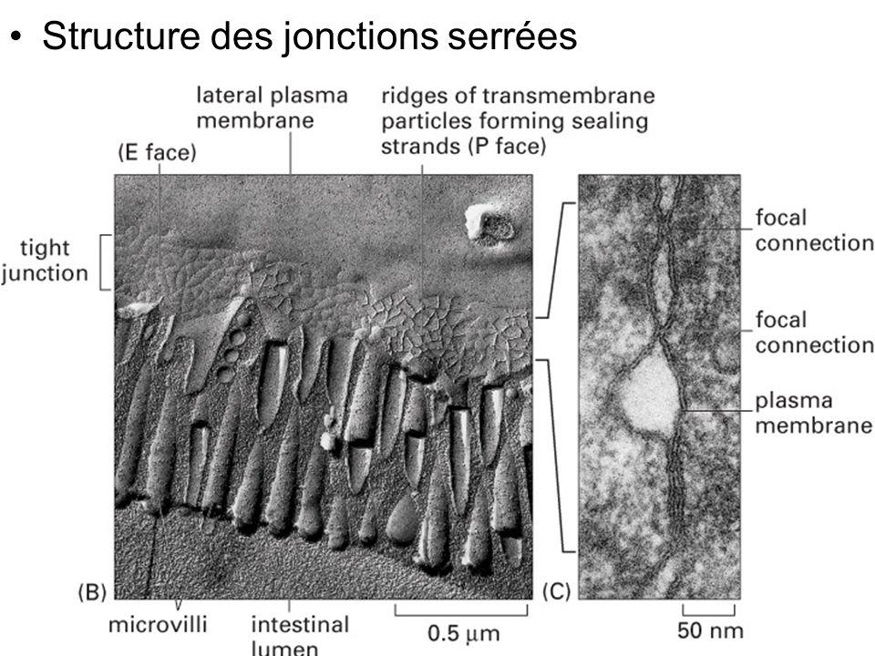 Mardi 20 janvier 2009 Structure des jonctions serrées Fig 19-4(B)