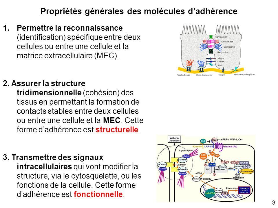 Propriétés générales des molécules d'adhérence