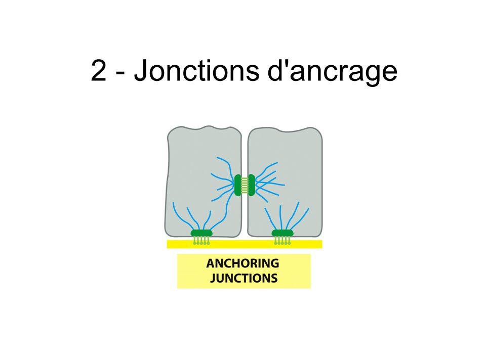 2 - Jonctions d ancrage