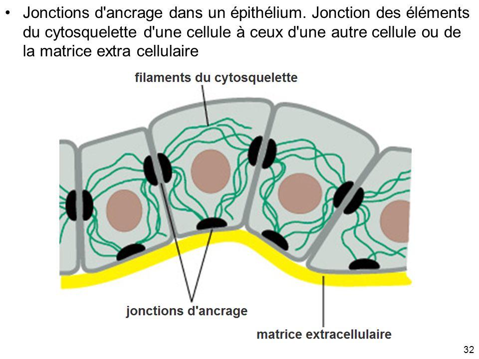Jonctions d ancrage dans un épithélium