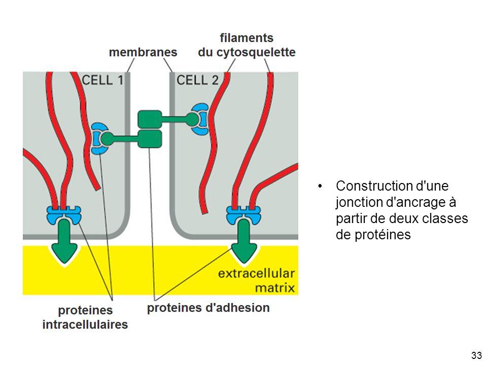 Mardi 20 janvier 2009 Construction d une jonction d ancrage à partir de deux classes de protéines