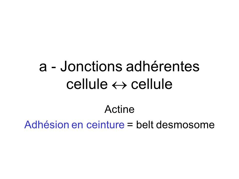 a - Jonctions adhérentes cellule  cellule