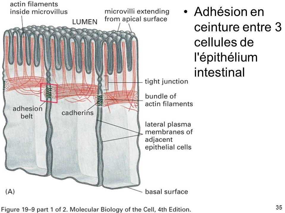 Mardi 20 janvier 2009 Adhésion en ceinture entre 3 cellules de l épithélium intestinal Fig 19-9(A)