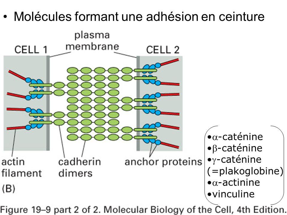 Fig 19-9(B) Molécules formant une adhésion en ceinture -caténine
