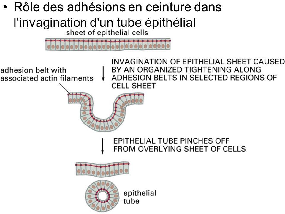 Rôle des adhésions en ceinture dans l invagination d un tube épithélial
