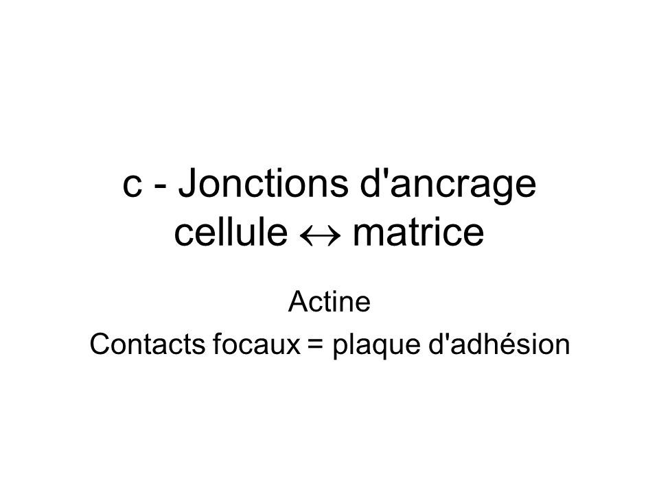 c - Jonctions d ancrage cellule  matrice