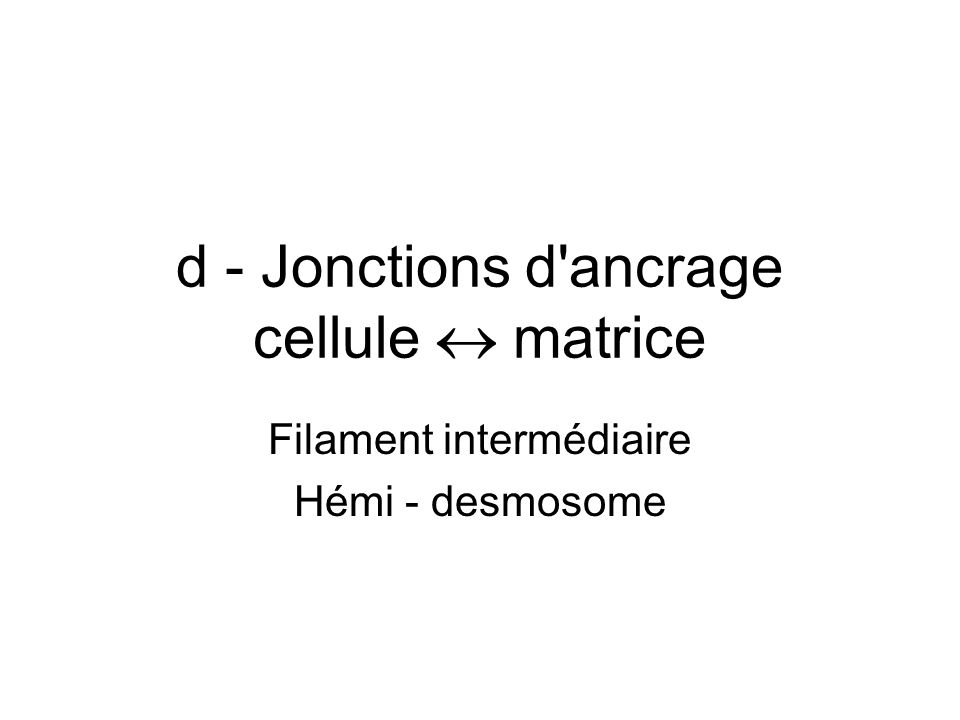 d - Jonctions d ancrage cellule  matrice
