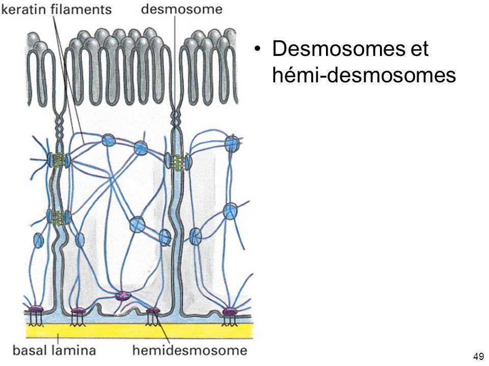 Mardi 20 janvier 2009 Desmosomes et hémi-desmosomes Fig 19-13